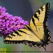 252 2010-10 Newtown and Beyond Butterfly on Butterfly Bush adj - 11x14 hope