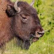 Yellowstone Buffalo, American Bison